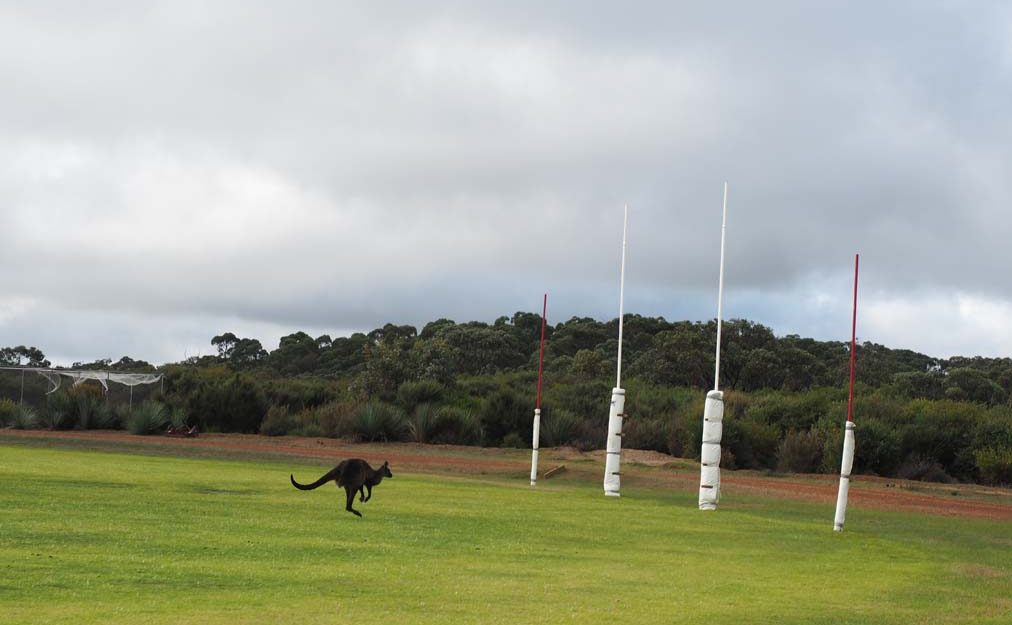 Kangaroo on football field.