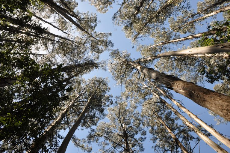Gum Tree Forest Canopy from below standing looking up