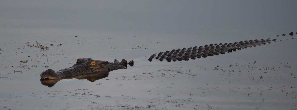 A crocodile spotted in Kakadu in the wet season on yellow water cruise