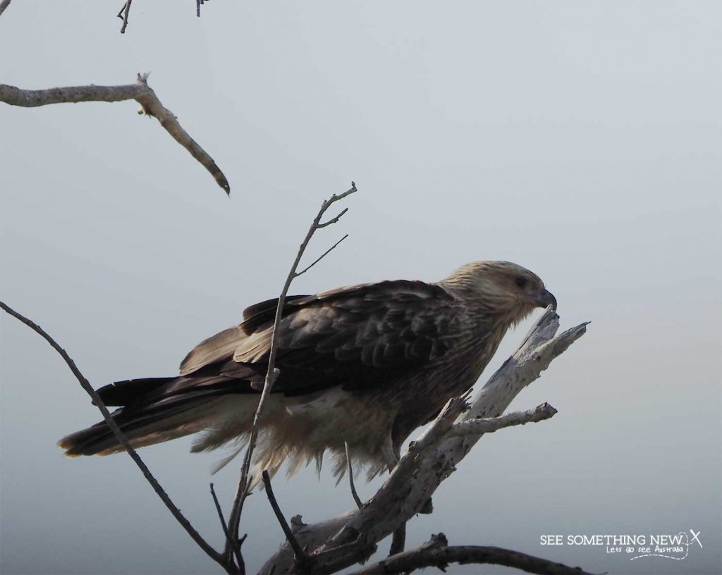 A whistling kite in a tree at Mamukala Wetlands in Kakadu National Park