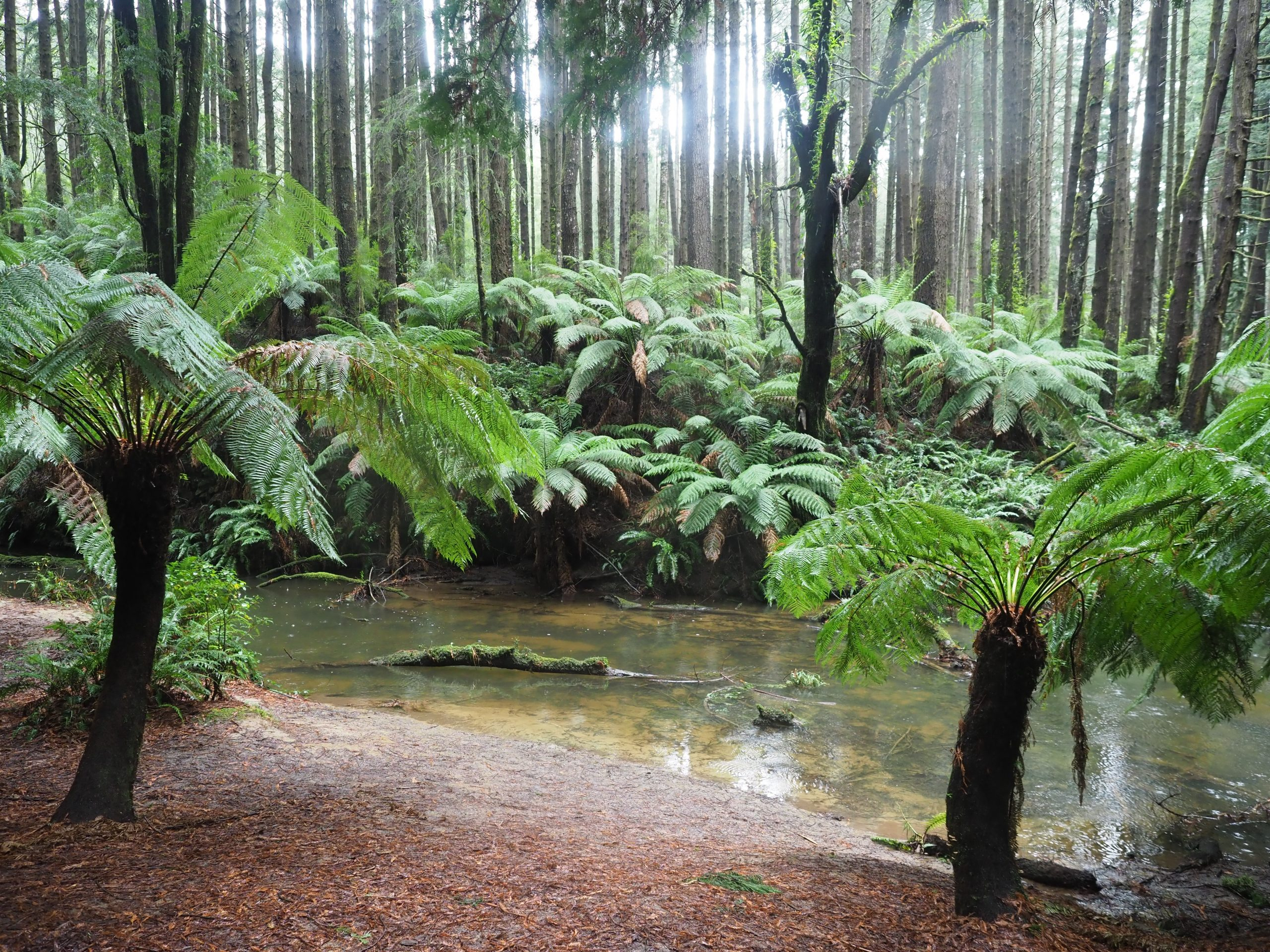 Pretty Creek with natural beach surrounded by tree ferns and gumtrees shot on location at the Redgums