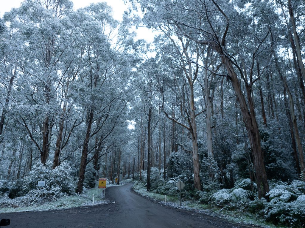 Snow in the otways with a winding road with gum trees and tree ferns covered with snow