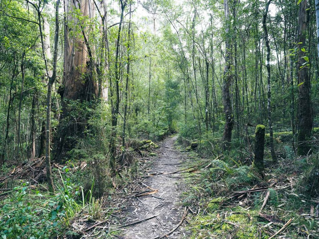 A narrow path through the Australian bush with trees with moss on them.